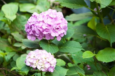 紫陽花 庭