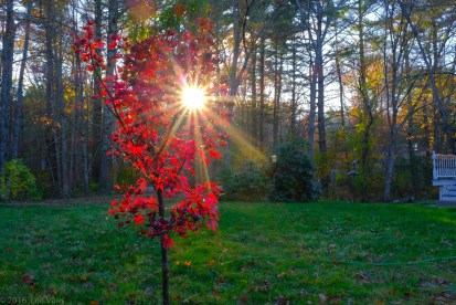red maple star