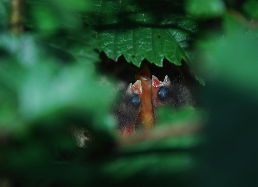 Fugleunger i vores hæk i august måned.