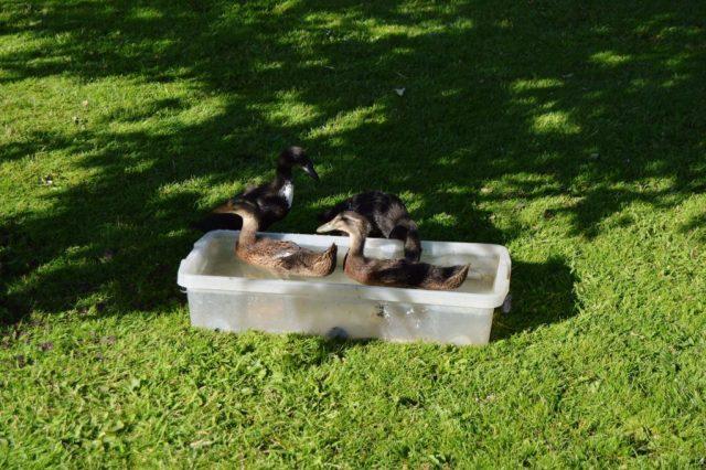 Ænderne i deres bad, som de benytter flere gange dagligt.
