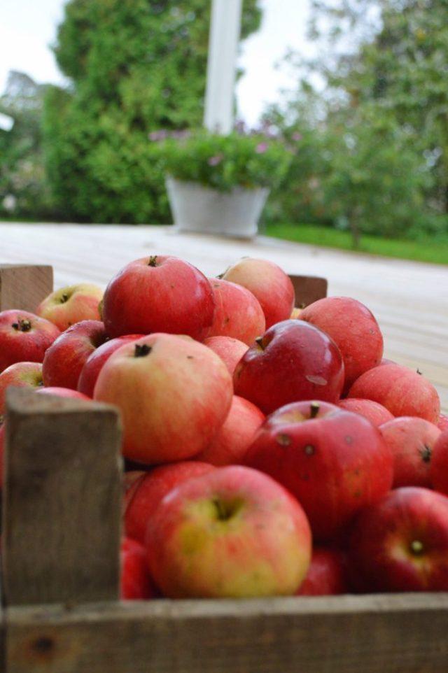 Friskplukkede Discovery æbler.
