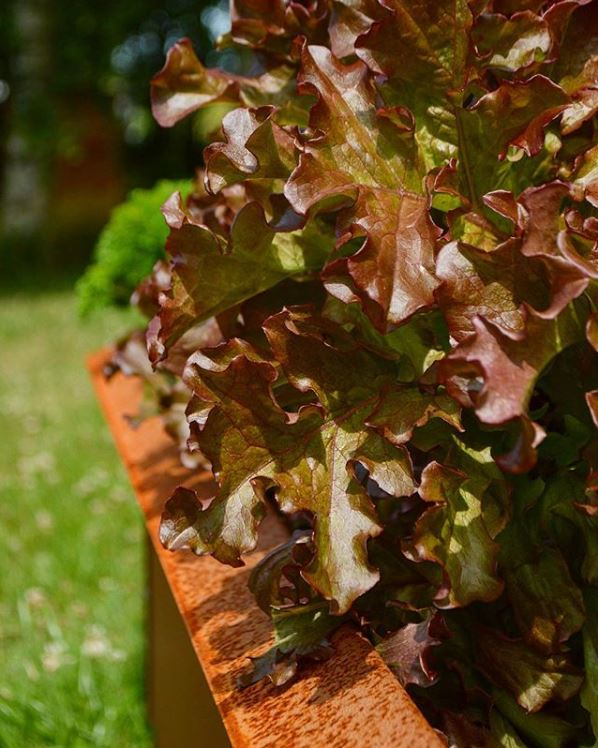 Salat i højbed