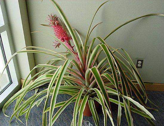 Цветущий ананас на подоконнике