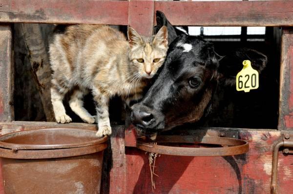 Туберкулез у кошек и котов. Как проявляется туберкулез у кошек? Можно ли лечить