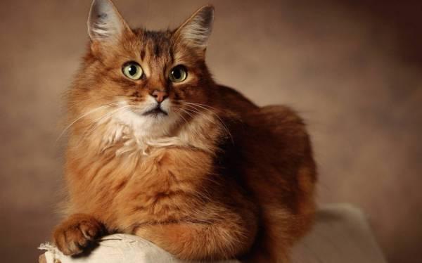 Apa kucingnya? York chocolate cat
