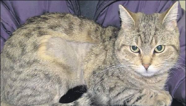 Алопеция у кошек лечение в дом условиях. Что делать с «психически неуравновешенной» кошкой{q} Остальные причины алопеции