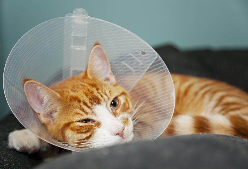 Как понять что кот отошел от наркоза. Как долго кот отходит после кастрации и после наркоза: как себя вести