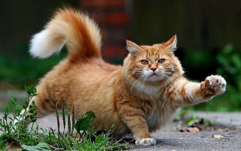 veľké a šťavnaté mačička