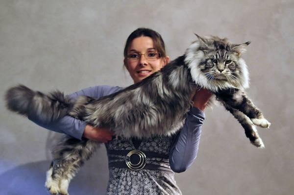 Дисплазия у кошек симптомы лечение
