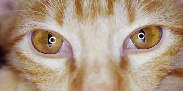 Как возникает язва роговицы у кошки и насколько она опасна. Язва роговицы у кошки лечение