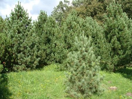 """Pinus sylvestris /""""globosa viridis/"""" foresta Pino molto rara varietà della casa"""