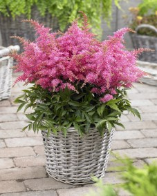 Astilbe Short 'n Sweet Raspberry