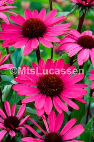 Echinacea Summer Cloud 4