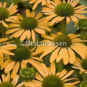 Echinacea Summer Passion cubic