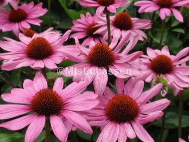 Echinacea The King.JPG