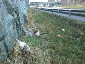 Förolyckade rådjur vid Svindersviken