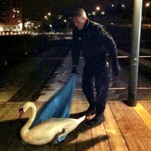 Polisen räddar svan på Danviksbron