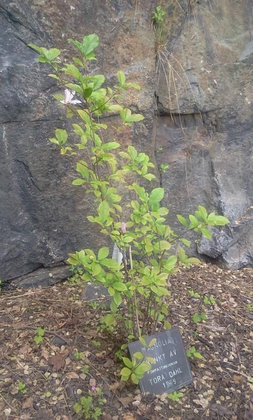 tora dahls magnolia nedanför danvikshem