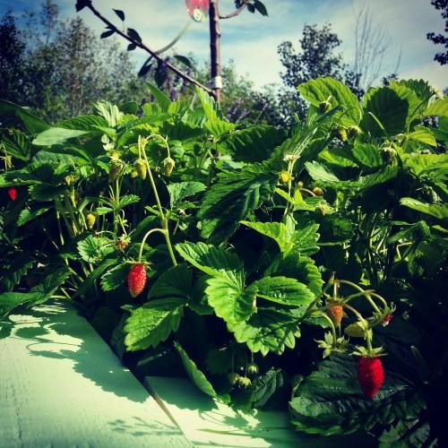 jordgubbar på magiska trädgården på kvarnholmen i nacka