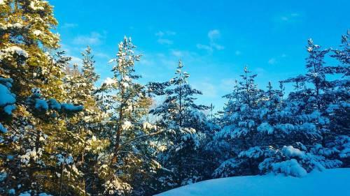 Snöklädda tallar i skogen Trolldalen mellan Henriksdalsringen, Finnboda och Svindersviken