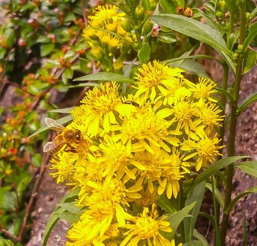 Ett bi på en gul blomma i backen mellan Henriksborg och Kvarnholmsvägen.
