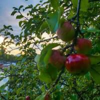 Äppelträd på Skatberget (västra Finnberget)