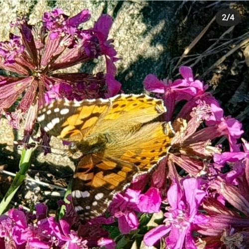 Tistelfjäril i nyckelbiotopen Trolldalen - fjärilar som lägger sina ägg på tistlar