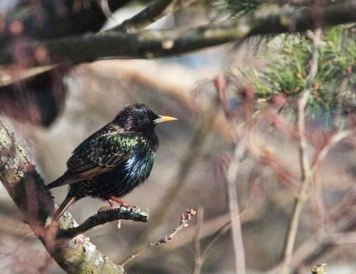 Stare i Svindersviken nedanför Trolldalen (källa: annasnatur.se) med i listan med rödlistade fåglar