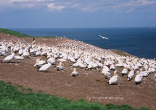 Colony of Gannets in Bonaventure Island, Percé, Gaspesie