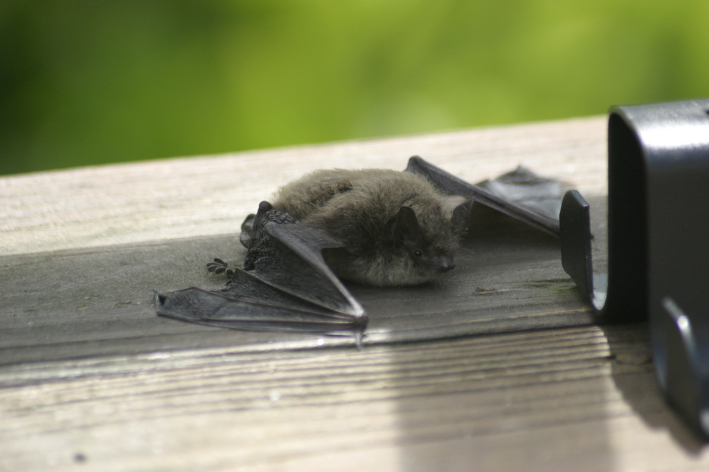 Never touch a bat that you find on the ground during the day, as it might have rabies.