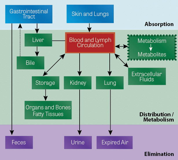 The Inter-Related Processes of Absorption, Distribution, Biotransformation, and Elimination