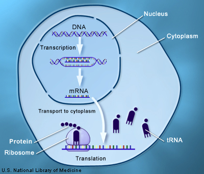 As an analogy, think of your DNA as a recipe book in the library (nucleus) and you use a photocopier (transcription) to get a recipe (mRNA) and take it to the kitchen (cytoplasm) use it to make apple pie (protein/antigens). Putting extra DNA or mRNA in the library doesn't modify your original recipe book!