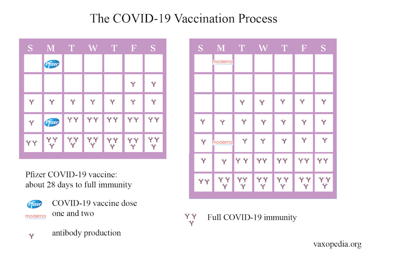 Two doses of these vaccines are needed to get the maximum protection against COVID-19.