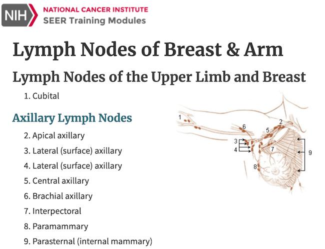 Lymph nodes are small bean-shaped glandular nodules.