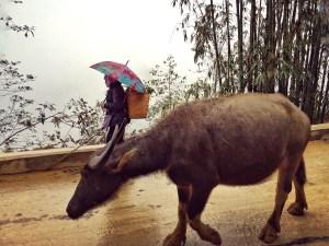 water buffalo in Sapa, vietnam Vaycarious.com