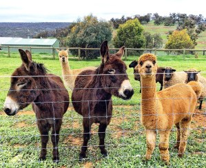 Adorable donkeys and alpacas vaycarious.com