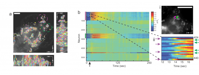 (a) Maximum-intensity projection (MIP) of a light-field deconvolved volume, (b) Extracted Ca2+ intensity signal (∆F/F0) of GCaMP5 fluorescence using spatial filters shown in a. Each row shows a time-series heat map. Color bars denote encircled regions in b, which include the olfactory epithelium, olfactory bulb and telencephalon. The arrow at ~15 s denotes the addition of an aversive odor. A close-up of the dashed box is shown (right, lower panel);