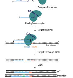 crispr cas9 aav and adenovirus product catalog vector diagram of a nucleotide diagram of nucleotide and [ 2376 x 3200 Pixel ]