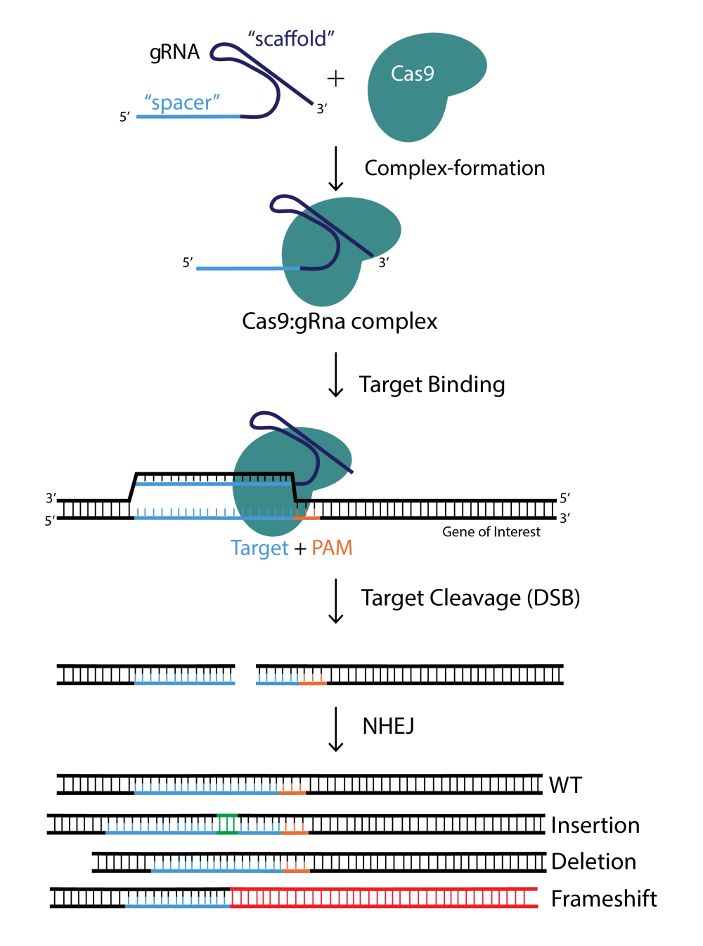 medium resolution of crispr cas9 aav and adenovirus product catalog vector diagram of a nucleotide diagram of nucleotide and
