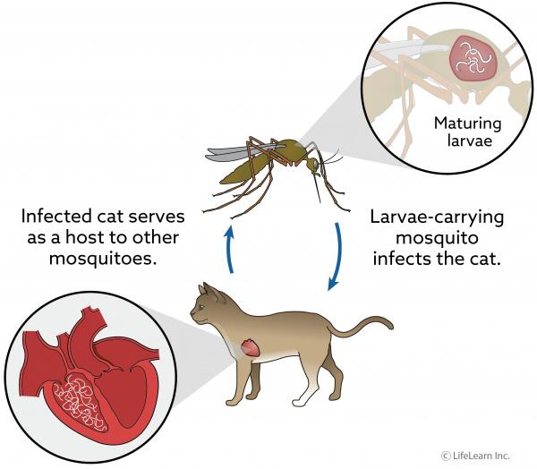 Heartworm Disease in Cats   VCA Animal Hospital