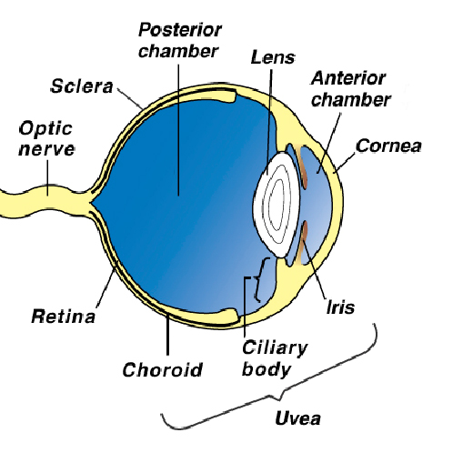 canine eye diagram right telephone extension wiring tumors melanoma in dogs vca animal hospital what are melanocytic