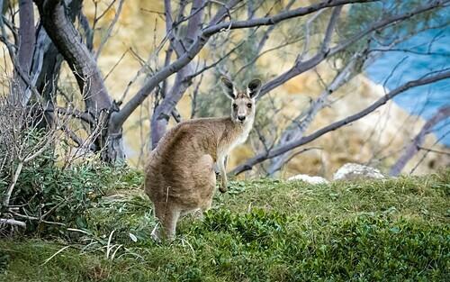 Wallaby có hình dáng giống nhưng kích thước nhỏ hơn Kangaroo. Ảnh: Mark Galer.