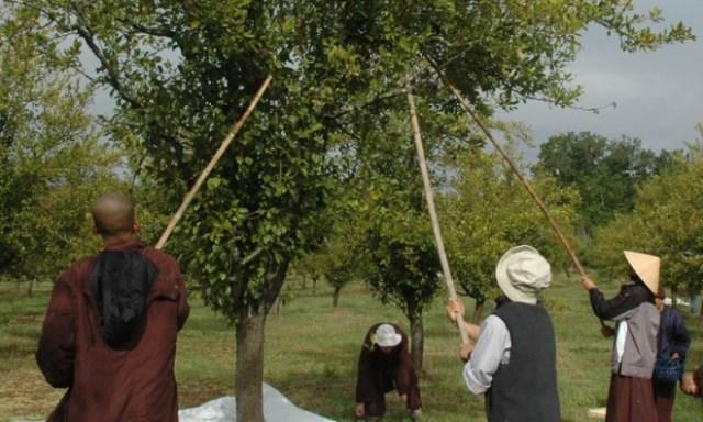 Các tăng thân tại làng Mai hái quả trong vườn. Ảnh: Phù Sa.