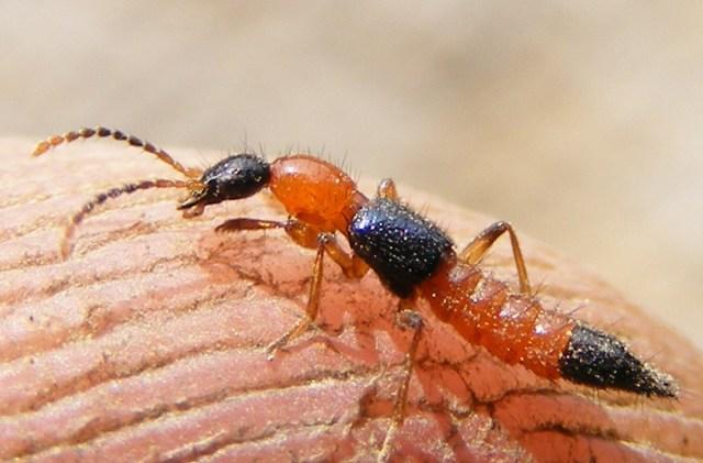 Kiến ba khoang có thân dài, kích thước từ 1,5 đến 20 mm, màu đỏ nâu, có khoang vàng trên thân. Ảnh: Word press