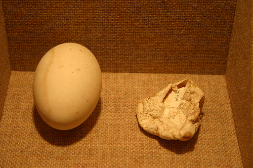 Healthy pelican egg on the left, and a DDT-affected pelican egg on the right.  Image from VCE Environmental Science.