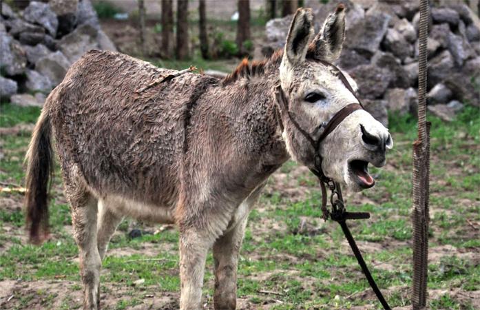 tamna magarca magarca