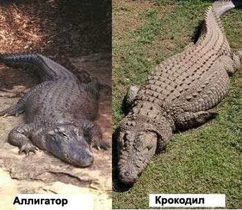 кто длиннее крокодил или аллигатор