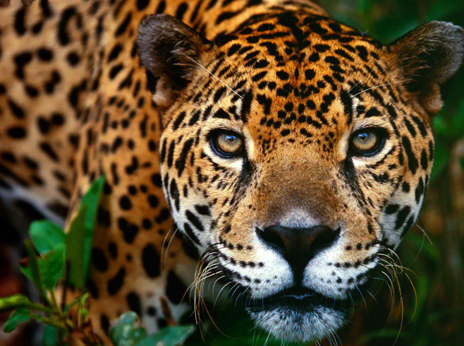 Jaguár élőhelye
