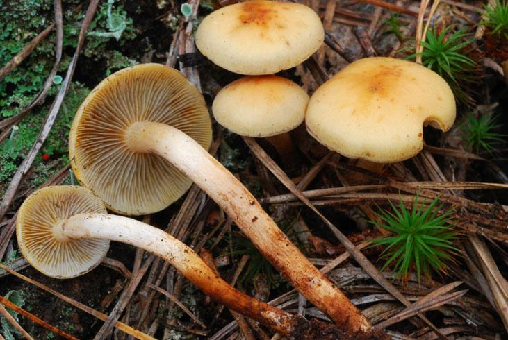 Бывают ли ложные опята червивыми. Как правильно предварительно отваривать грибы || Бывают ли опята червивыми
