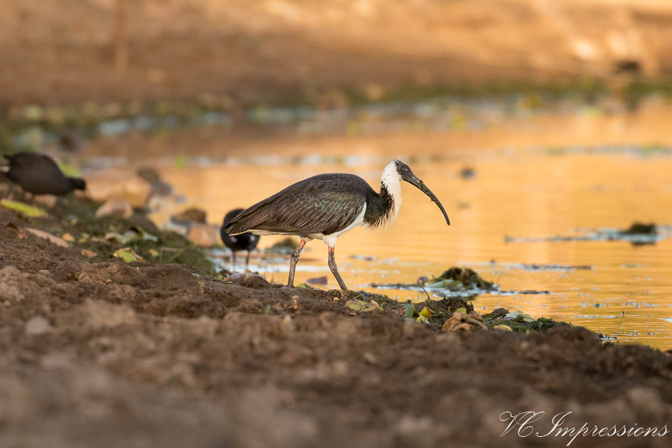 Pic of the Day – Straw-necked Ibis